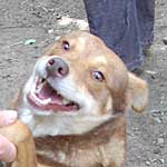 pies Chińczyk